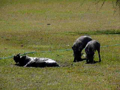 Warthogs at Inyati Lodge