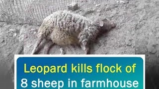 Leopard kills flock of 8 sheep in farmhouse - Punjab News