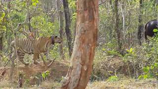 #Live Tiger Attack Indian Bison (Gaur) Umred Karhandla wildlife sanctuary | Gothangaon Nagpur
