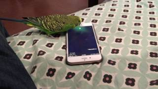 "Talking bird activates Siri on the iPhone by saying ""Hey Siri"""