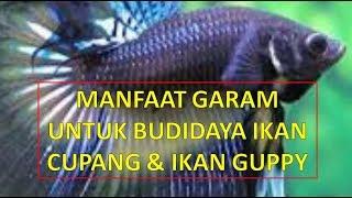 INILAH Manfaat Garam Ikan Untuk Budidaya Ikan Cupang & Guppy Hias width=