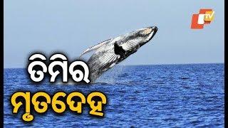 Carcass of 52 feet whale found in Gahiramatha in Kendrapara