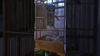 kicauan Burung Flamboyan Gacor width=