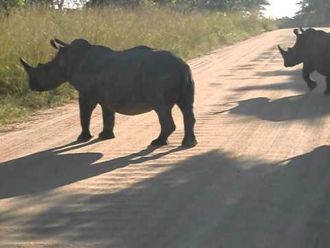 Family of rhinos, Kruger Park, South Africa