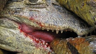 Real life war! This anaconda constricted a caiman while having its head bitten!
