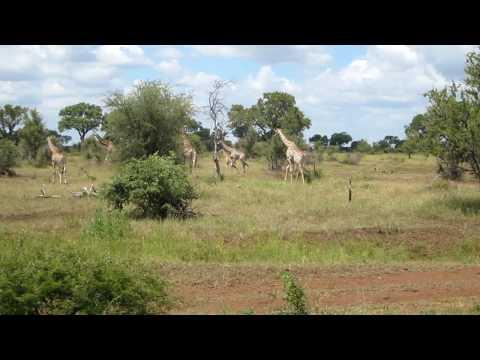 Giraffes of Kruger Park