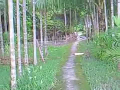 Paddy Field in Sylhet,Bangladesh