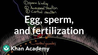 Egg, sperm, and fertilization | Behavior | MCAT | Khan Academy width=