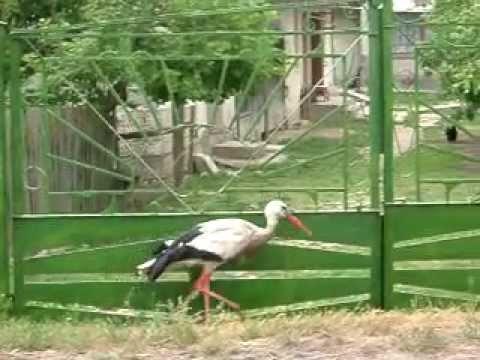 Pet Stork near Lviv – UKRAINE
