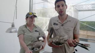 Zoo News - Flamingo chicks with the flock