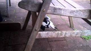 Cricket the magpie, attacking the young fella..
