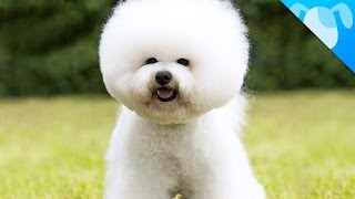 Bichon Frisé Facts