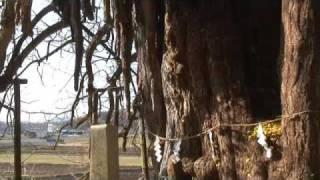 巨木、乳下がりの銀杏
