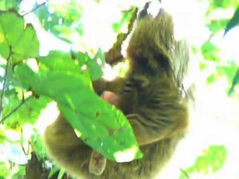 Nicaragua 2013 sloth