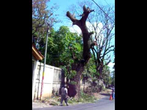 Tree Cutting in Nicaragua