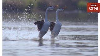 Love birds - Earth's Seasonal Secrets: Spring Episode 4 - BBC One