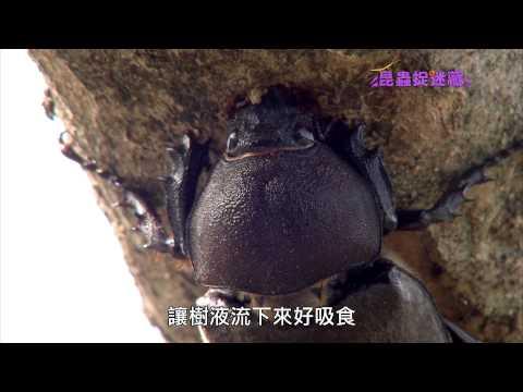 《昆蟲捉迷藏》白雞油上的的甲蟲王者【雞油龜:獨角仙】 - YouTube