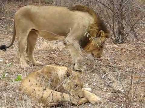 Lion at Kruger_Wounded