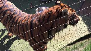 Can a cat kiss a tiger and walk away ?
