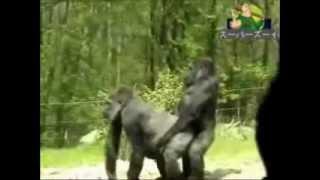 Macacos fazendo amor em Zoológico