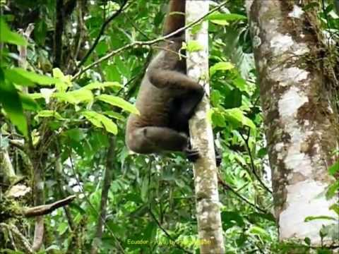 2012 Ecuador   Puyo, Rescate Los Monos, Chorongo Lanudo, Wooly Monkeys, Singes Laineux