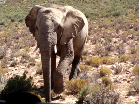 """Close encounter with African elephant """"Muffin"""""""