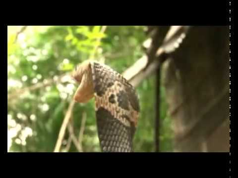 wildlife tv Show promotional of Bangladesh – Snake / 06