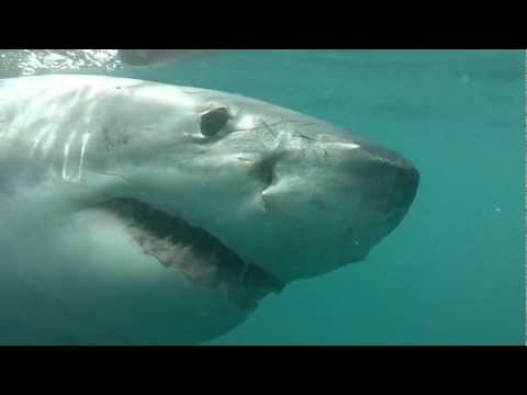 Great White Shark Diving in South Africa – Jaws