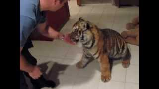 Dominance battle with Jonas the tiger