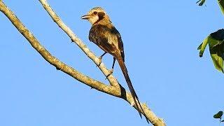 Tesoura-do-brejo, Gubernetes yetapa, Streamer-tailed Tyrant, Insetívoros, Ave migratória,