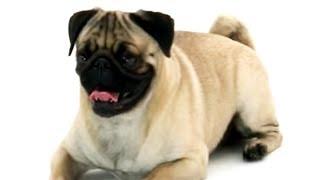Pug | Dogs 101 width=