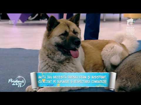 Tot ce trebuie să ştii despre câinele Akita Inu