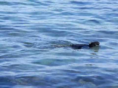 GALAPAGOS: Swimming Iguana ECUADOR  pt ayora 20100729