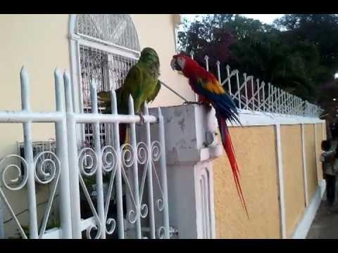 Huaccamaya (ara), grande pappagallo delle Andes in San Juan del Sur, Nicaragua – By Tundrablu