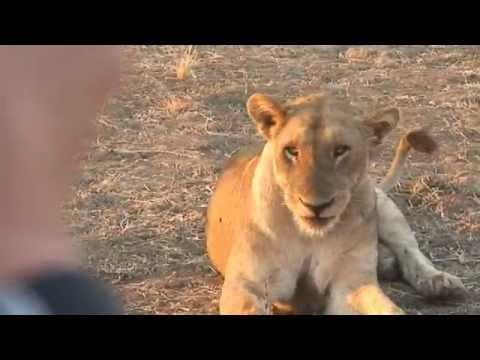 South Luangwa NP, Zambia: Lions