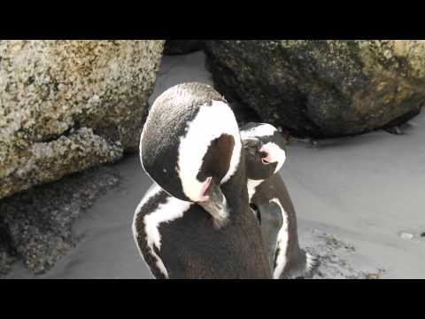 South African Penguins cleaning each other