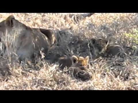 Singita Ebony Game Drive – Lions 4