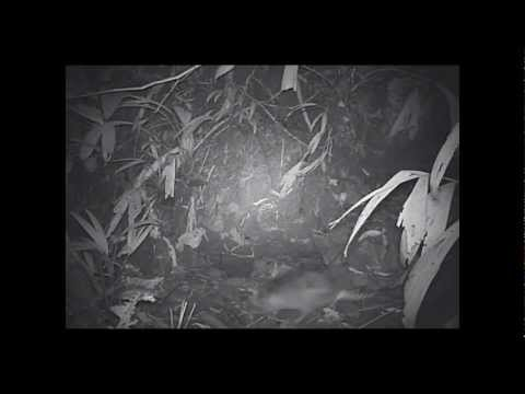 Hamadryade Lodge – Armadillo, IR Camera, Amazon, Ecuador