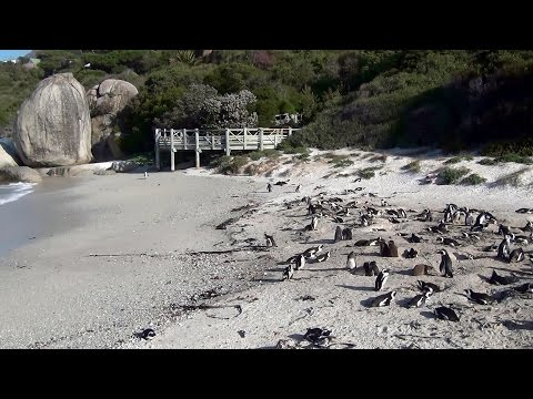 SUDAFRICA – BOULDERS BEACH