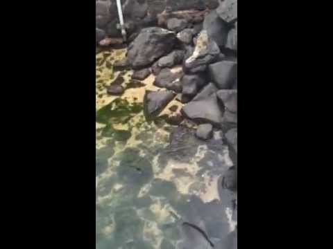 Swimming Baby Sea Lion – San Cristobal, Galapagos