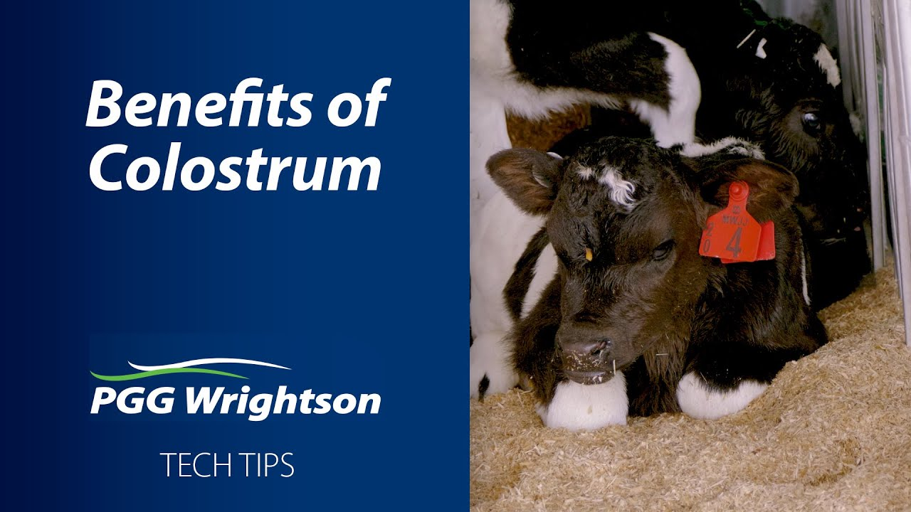 Benefits of Colostrum for Calves