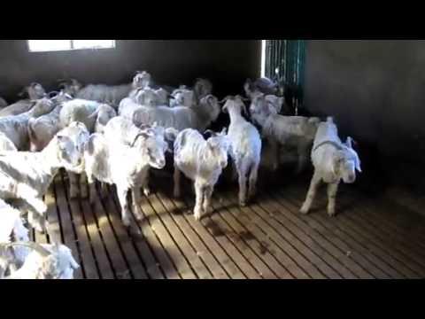 Shearing Goats – Winterhoek, South Africa