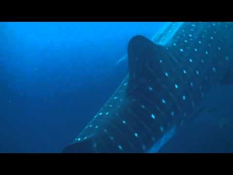 Sharkman swimming with Giant Whale Shark | The Adventure Couple