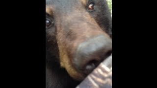 Bear & Man... Face to Face!  {ORIGINAL VIDEO}