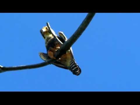 Birds Ecuador- aves de ecuador – Aplomado Falcon – Falco femoralis