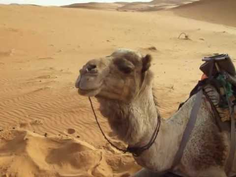 Chewing camel. :D