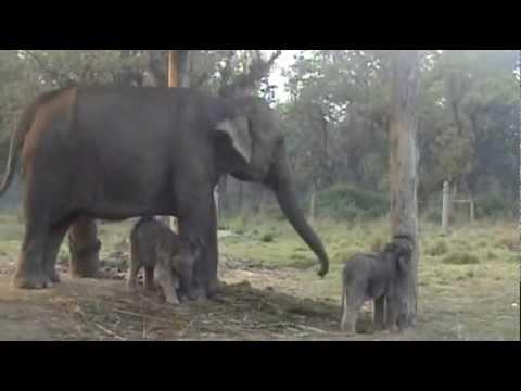 TWIN BABY ELEPHANTS, 2 WEEKS OLD, CHITWAN NATIONAL PARK, NEPAL