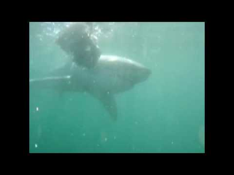 TC shark diving SA 2010