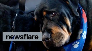 Crying rottweiler grieves for dead brother