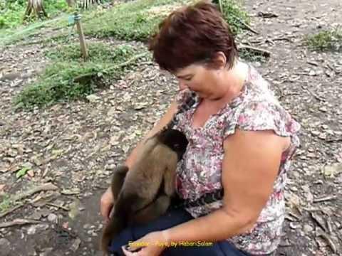 2012 Ecuador   Puyo, Rescate Los Monos, Capuchino Machin Cebus, Singes Capucins